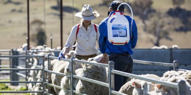 To maximise sheep productivity and profitability, an effective parasite management program is crucial
