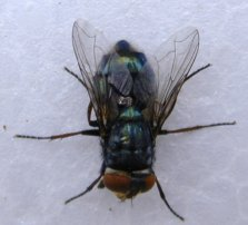The screw worm fly. Not so different from Australian blow flies.
