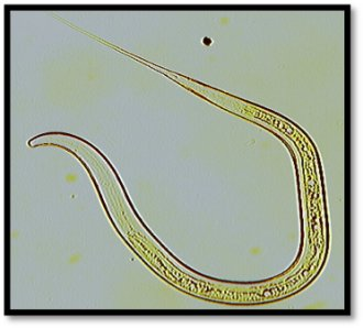 Figure 3b. Nematodirus spp. L3 hatched (100 x magnification). Source: Veterinary Health Research.