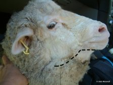 Bottle jaw in a sheep with a severe barber's pole worm infection.