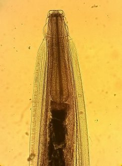 Figure 4:  Head  (400x magnification). Source: Jane Lamb, Invetus.