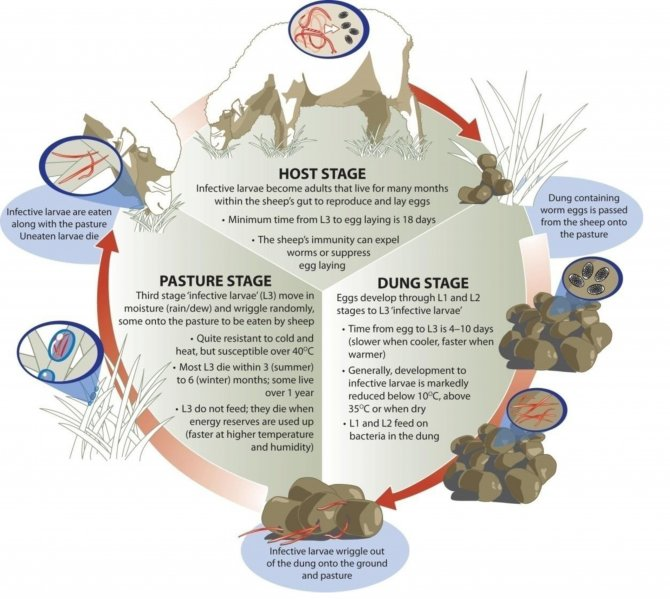 Image: The roundworm life cycle (Source: Sheep CRC)