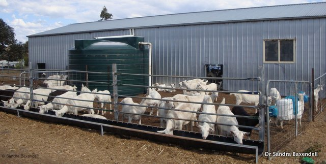 Figure 1. Fence line feeders for dairy goats in a zero-grazing production system. Source: Dr Sandra Baxendell.