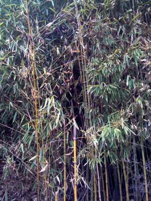 Figure 7. Bamboo used to feed goats. Source: Dr Sandra Baxendell.