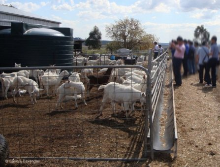 Figure 1. Fence-line feeder in a commercial goat dairy. Source: Dr Sandra Baxendell.