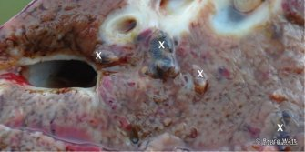 Adult liver fluke (marked x) on cut surface of liver. Source: Bruce Watt Central Tablelands LLS