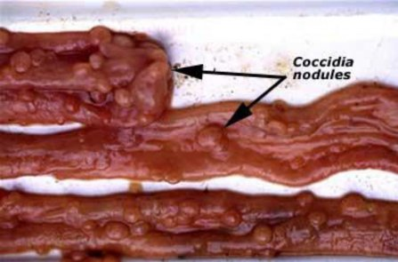 Image: Nodules from Coccidia in small instestine of sheep (Source: Dr R Woodgate, Department of Agriculture & Food WA)